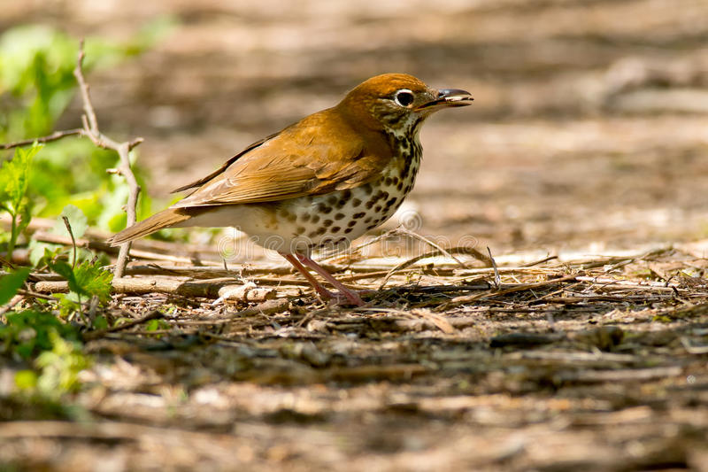 Wood Thrush. Walking on a muddy path stock images