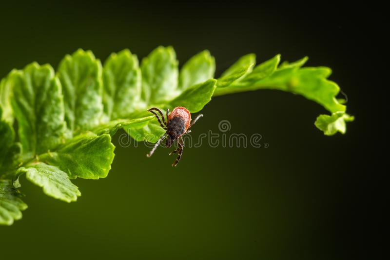 Wood tick hangs on a leaf. Green background. Lurking wood tick. Female of the tick sitting on a leaf, brown background. Wood tick hangs on a leaf. Green royalty free stock photography