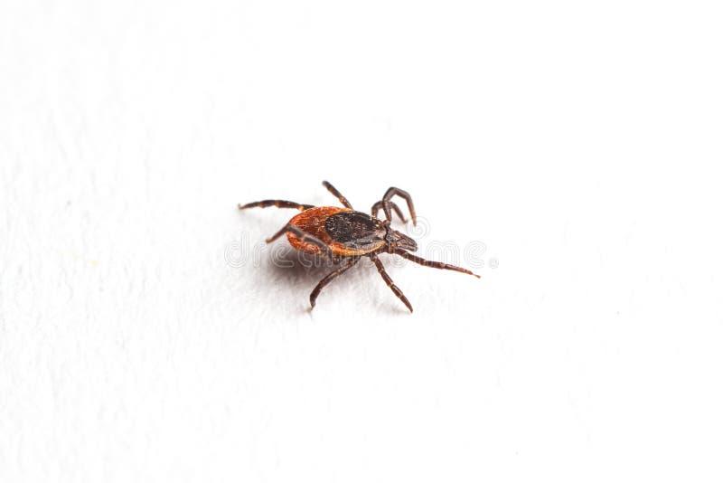 Wood tick, Ixodes ricinus, specimen - angled side view, isolated on white. Wood tick, Ixodes ricinus, angled side view, isolated on white stock photo