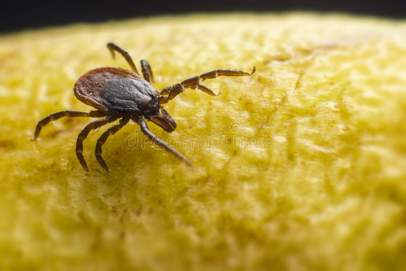The castor bean tick (Ixodes ricinus). Ixodes ricinus, the castor bean tick, is a chiefly European species of hard-bodied tick. It may reach a length of 11 mm (0 stock photos