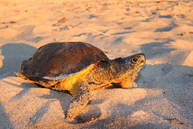 Download Wood Turtle (Glyptemys Insculpta) Stock Image - Image: 19956623