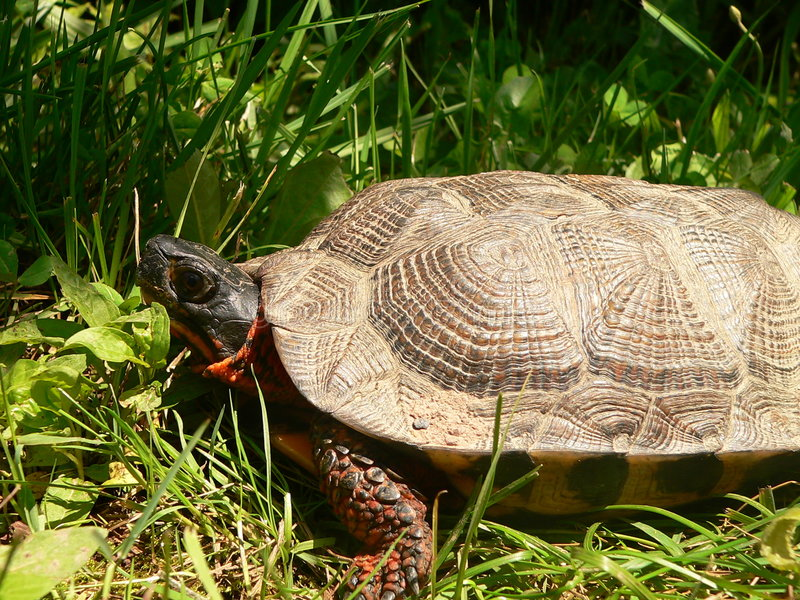 Wood Turtle side stock image