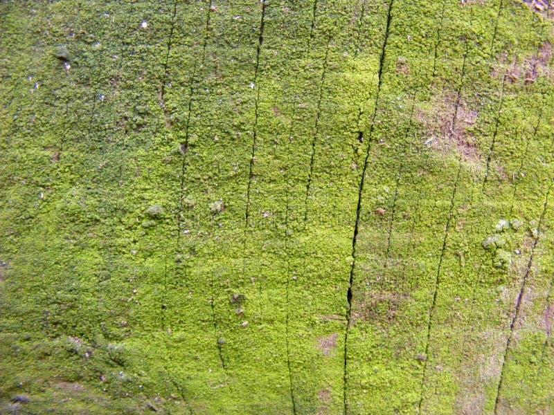 Wood vägg för naturlig ladugård som täckas med grön mossa- eller lavbakgrund arkivbilder
