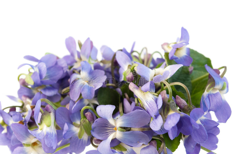 Wood violet stock photography
