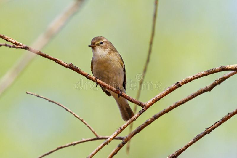 Wood warbler sits on a branch royalty free stock photos