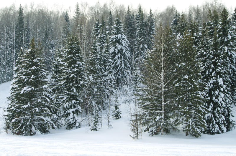 Wood in the winter in Russia Siberia royalty free stock image