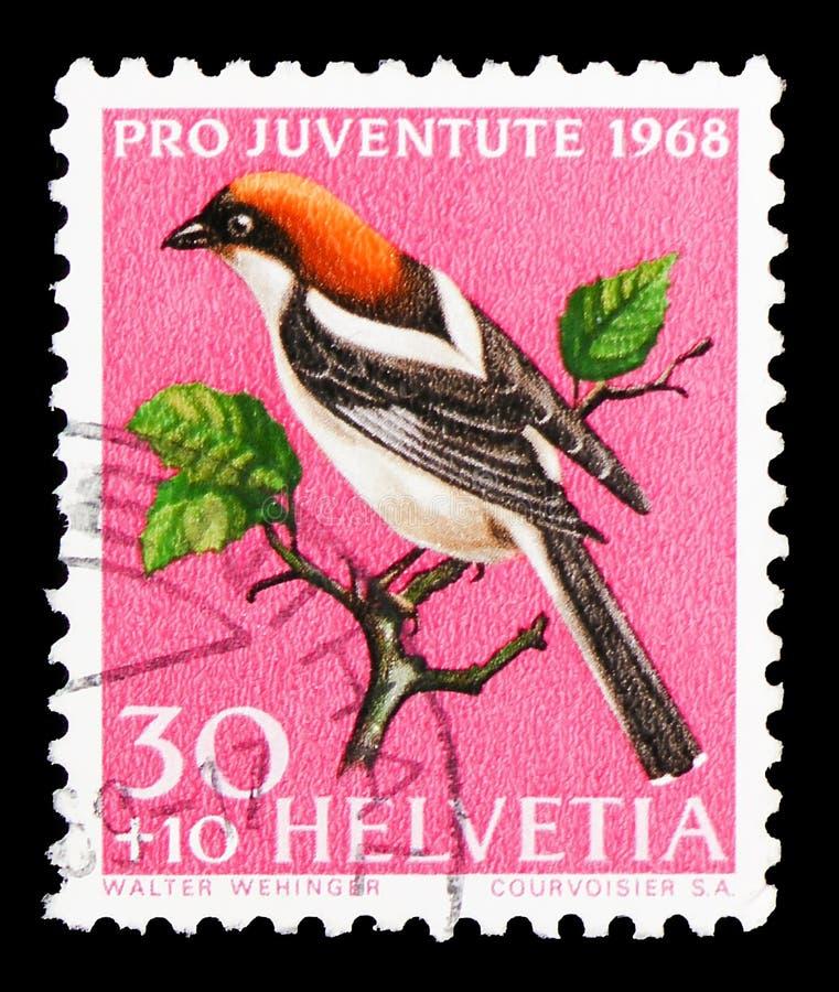 Woodchat Shrike (拉尼厄斯Juventute参议员),赞成:当地鸟serie,大约1968年 免版税图库摄影