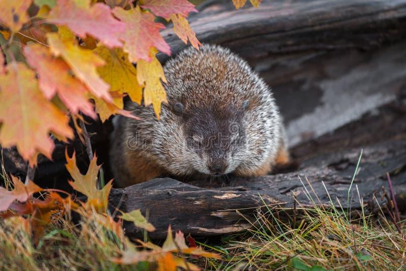 Woodchuck μάτια Marmota monax που χαμηλώνουν το φθινόπωρο κούτσουρων στοκ εικόνες