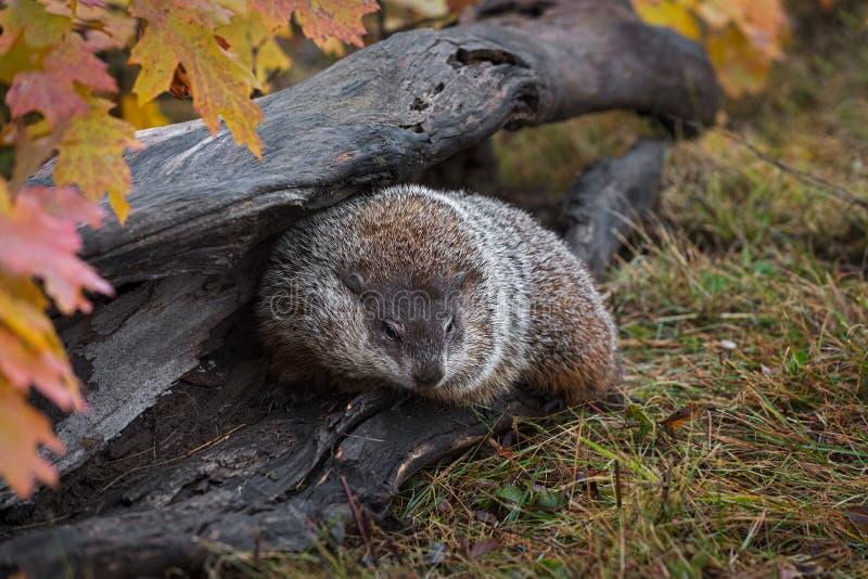 Woodchuck στροφές Marmota monax το φθινόπωρο κούτσουρων στοκ εικόνα