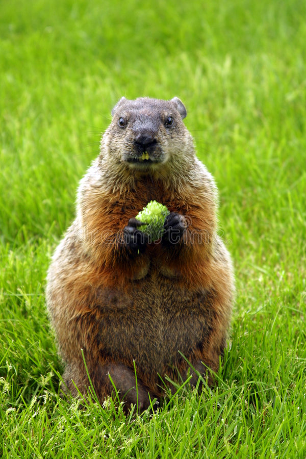 Woodchuck stock images