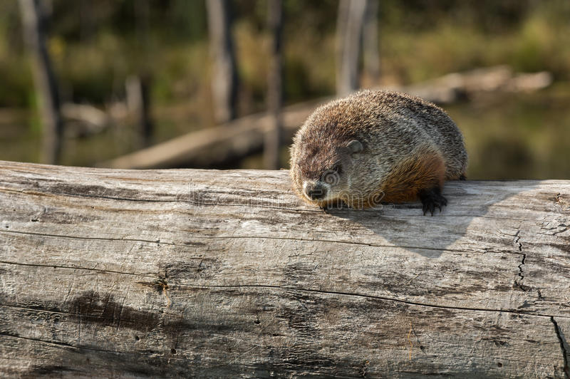 Woodchuck (Marmota monax) κοιτάζει έξω από επάνω στο κούτσουρο στοκ εικόνες