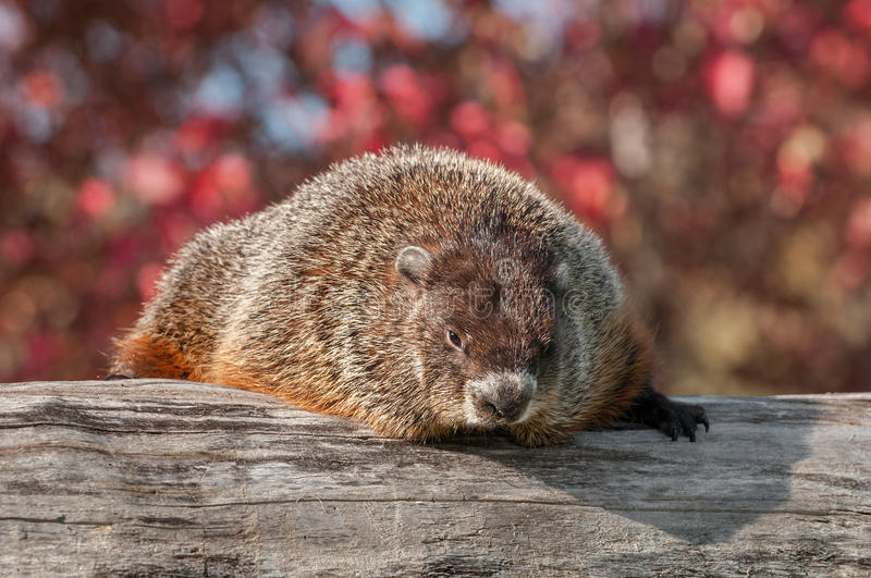 Woodchuck (Marmota monax) Looks Out from Atop Log royalty free stock images