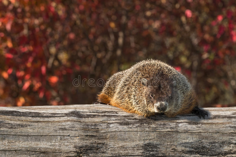Woodchuck (Marmota monax) Rests on Log stock photography