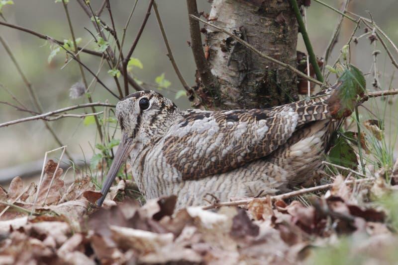 Woodcock, rusticola dello Scolopax fotografie stock