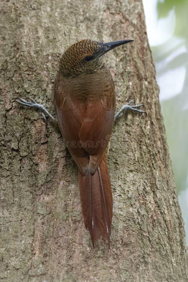 Woodcreeper barrado do norte que escala uma árvore - Panamá imagens de stock