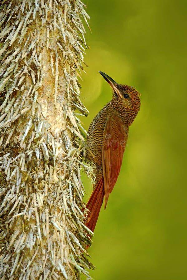 Woodcreeper escluso nordico, sanctithomae del Dendrocolaptes, uccello selvaggio nell'habitat della foresta Scena della fauna selv fotografie stock libere da diritti