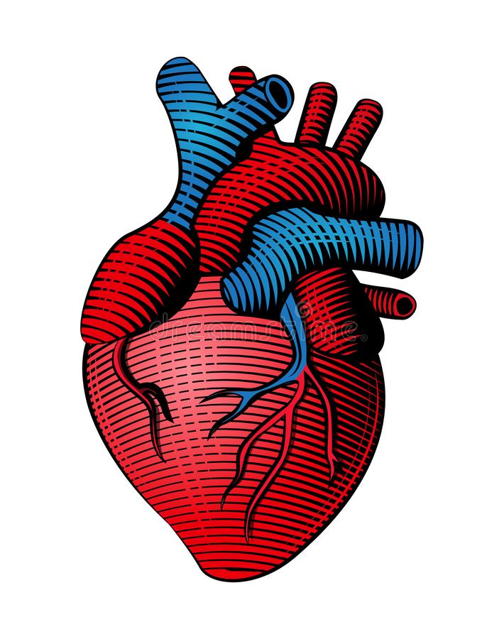 Woodcut style colored human heart line art. Woodcut engraved style colored human heart line art stock illustration