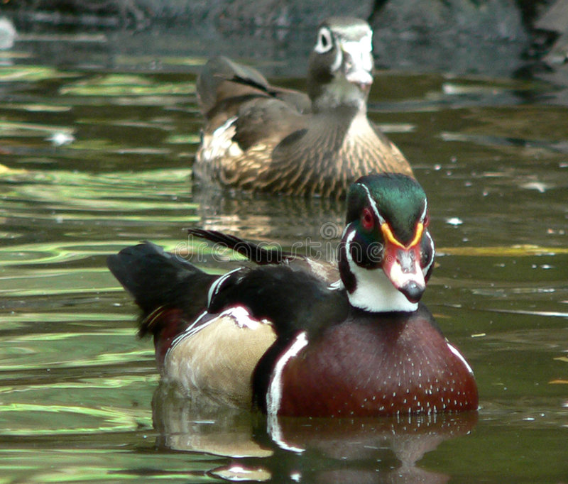 woodduck obrazy royalty free
