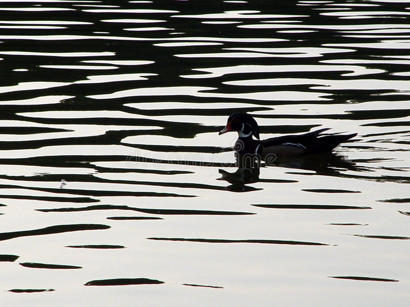 Download Woodduck Silhouette stock image. Image of ripples, lake - 17681