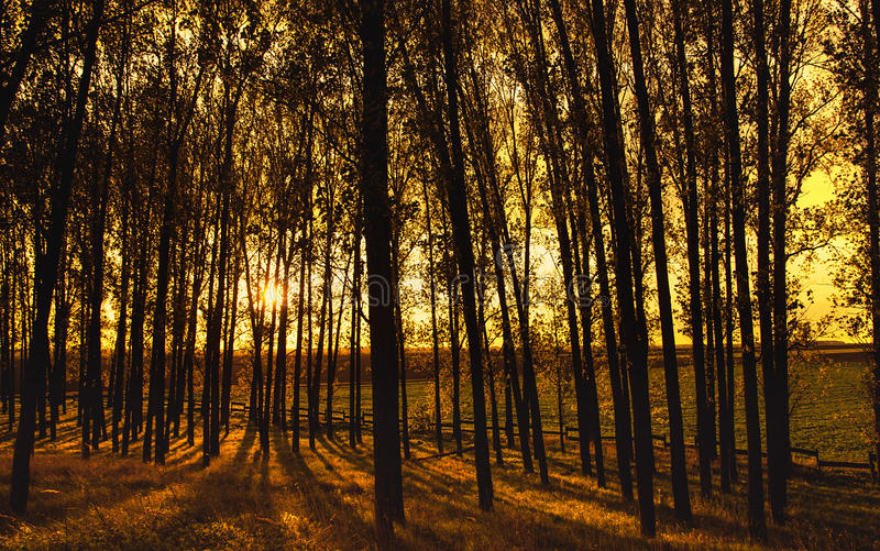 Wooded forest trees backlit with golden sunlight stock photo
