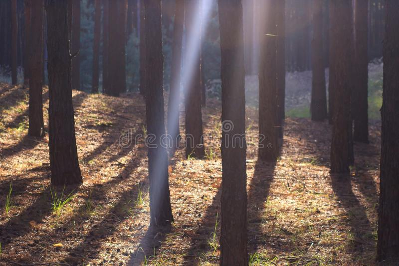 Wooded forest trees backlit by golden sunlight before sunset with sun rays pouring through trees on forest floor royalty free stock image