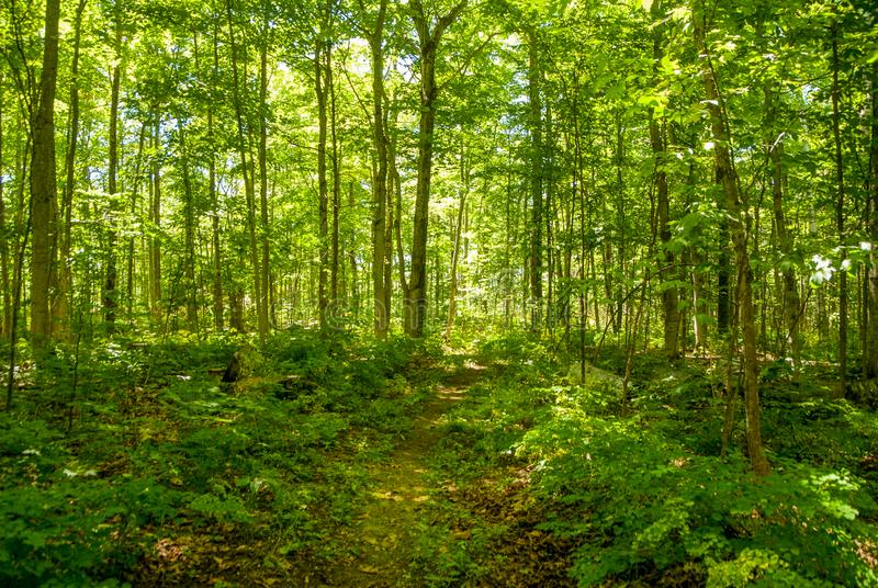 Wooded Walk in the Summer. Walking in the shaded woods in the summer royalty free stock photography