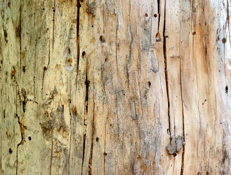 Wooden background. Close up of tree wood showing patterns made by bark beetles and bugs. Damage done by bark beetle. The immense reproduction of this bark stock image