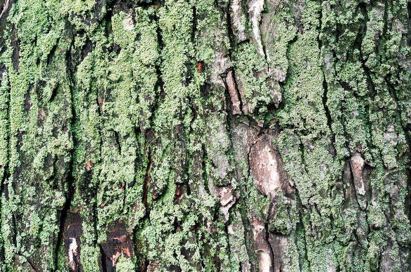 Wooden background maple tree trunk with green moss. Close up royalty free stock image
