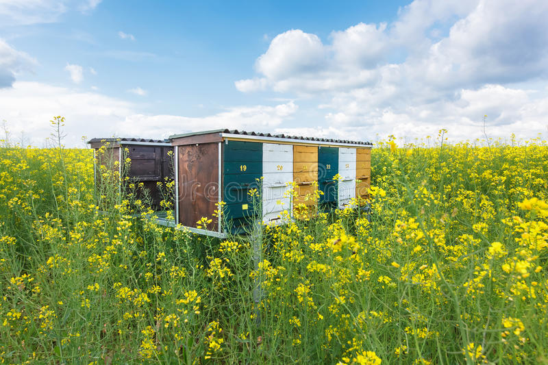 Wooden beehives on oilseed meadow stock images
