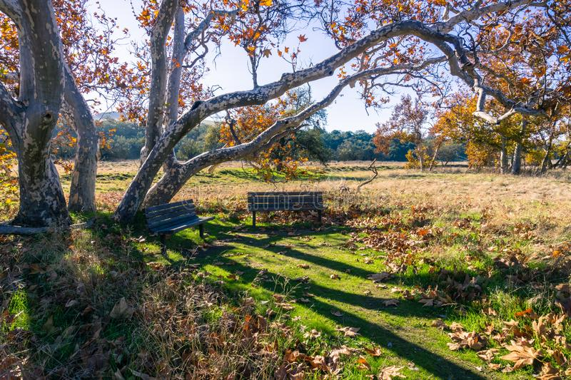 Wooden benches situated under the long branches of an old Western Sycamore tree (Platanus Racemosa) on a sunny winter day, stock photography