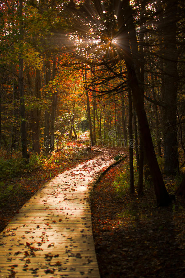 Download Wooden Boardwalk Cuts Through A Dark Autumn Forest Stock Photo - Image of dense, colours: 21559646