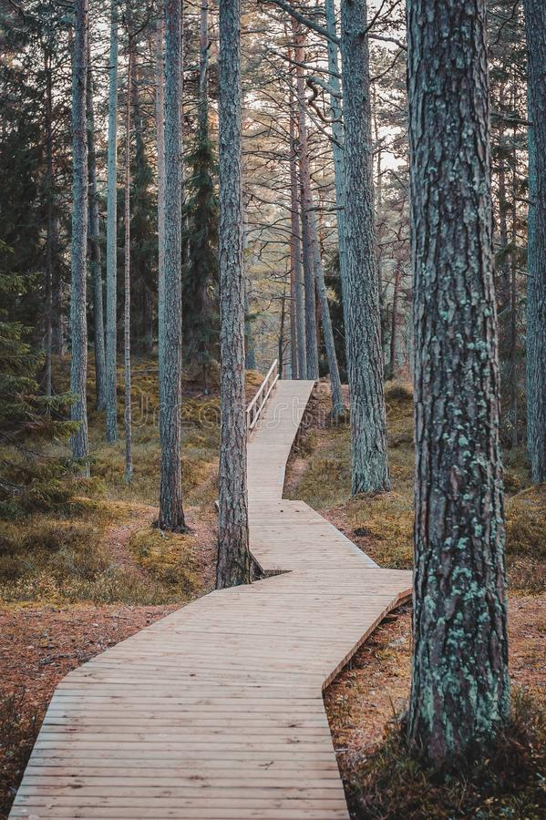 Wooden boardwalk in pine forest. Autumn landscape. royalty free stock photography