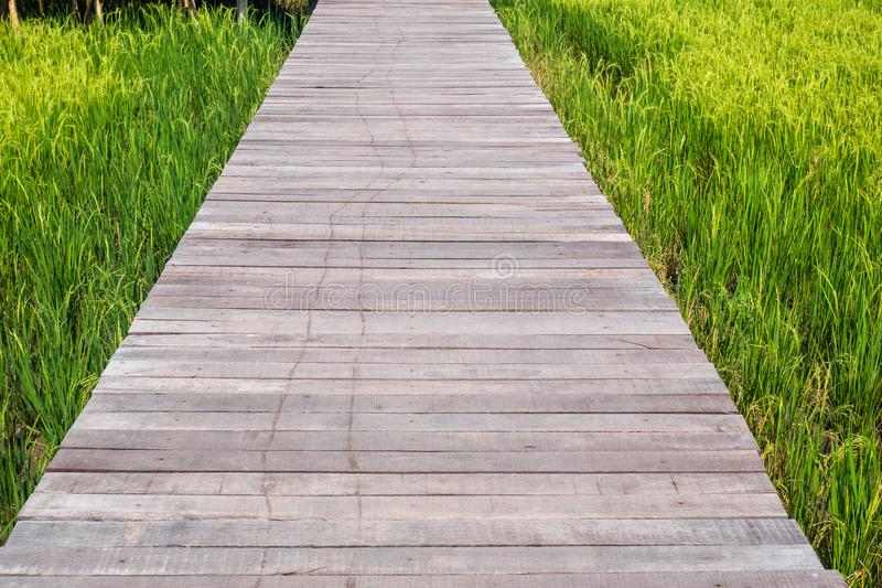 Wooden boardwalk walkway through rice green field tall green grass leading to somewhere nature concept idea recharge energy.  stock image