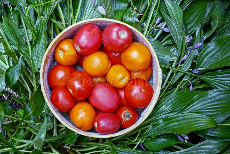 Red and yellow tomatoes in a round wooden bowl on green leaves stock photos