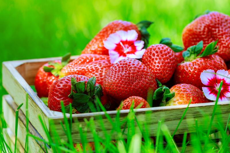Wooden box with fresh ripe organic strawberries on green grass at summer fresh fruits stock photo