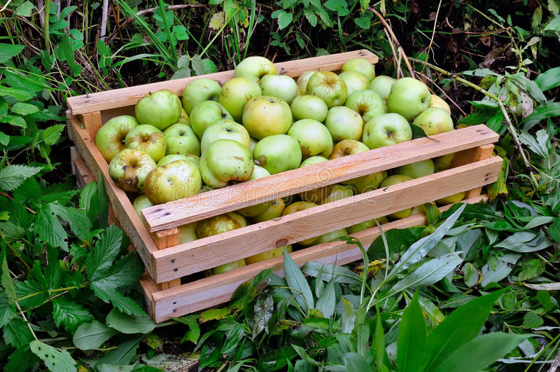 Wooden box with green apples on the green grass. royalty free stock photos