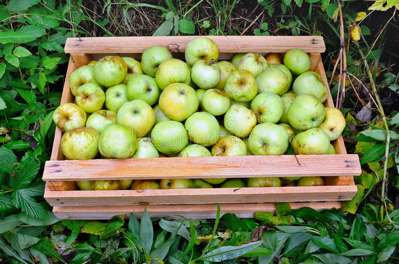 Wooden box with green apples on the green grass. royalty free stock images