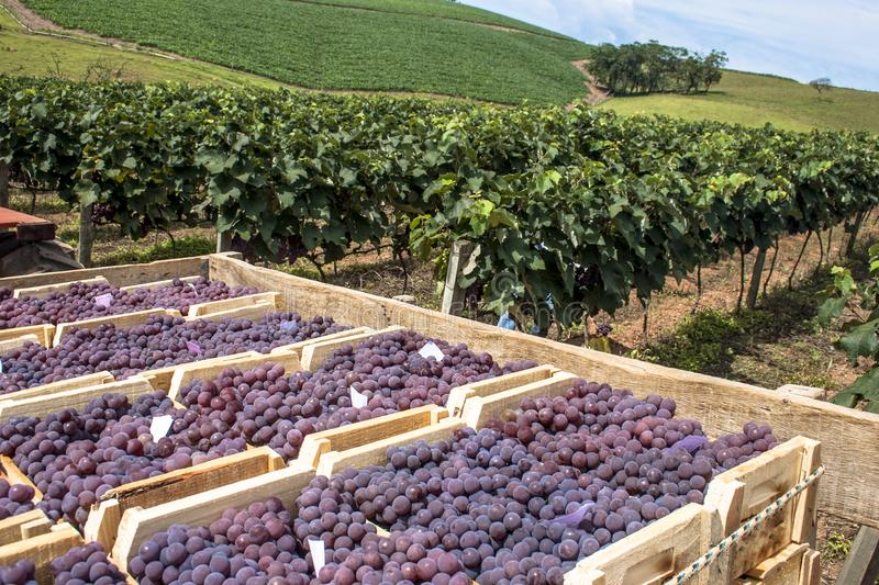 Wooden boxes with freshly harvested grapes royalty free stock images