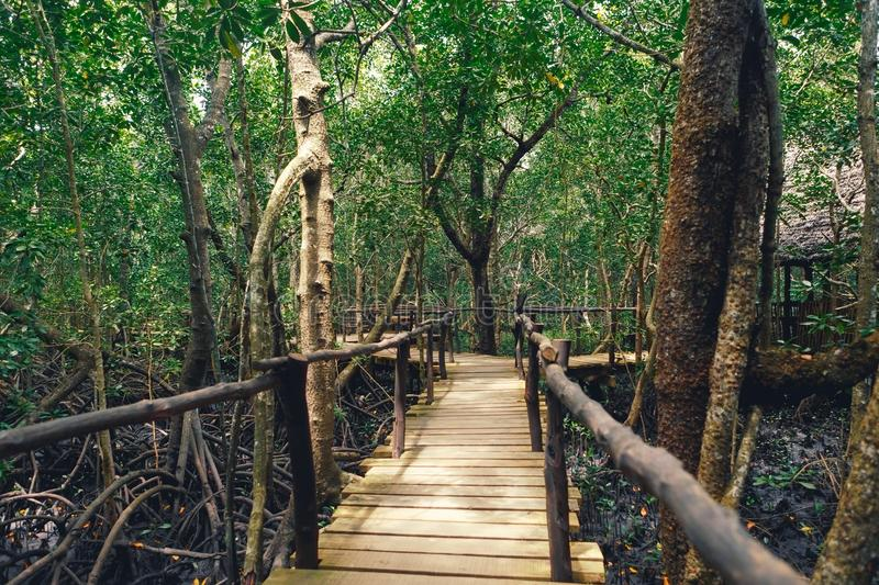 Wooden bridge dense forest Tanzania Zanzibar Jozani national par. Wooden bridge in dense forest. Tanzania, Zanzibar. Jozani national park stock photos