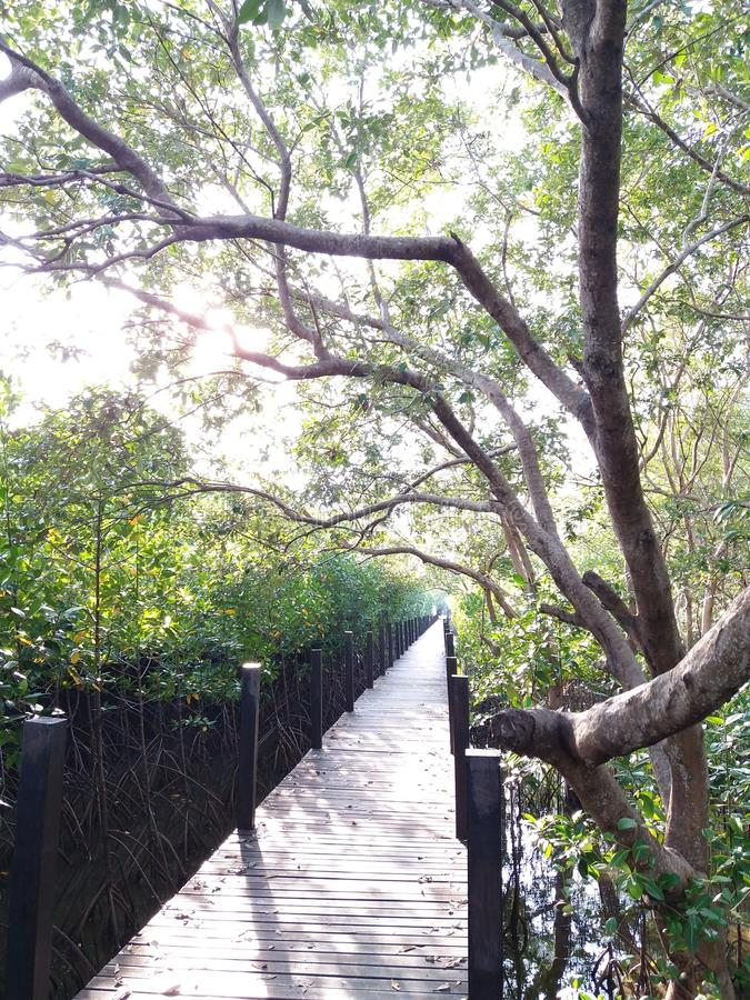 The wooden bridge in the mangrove forest. stock photos