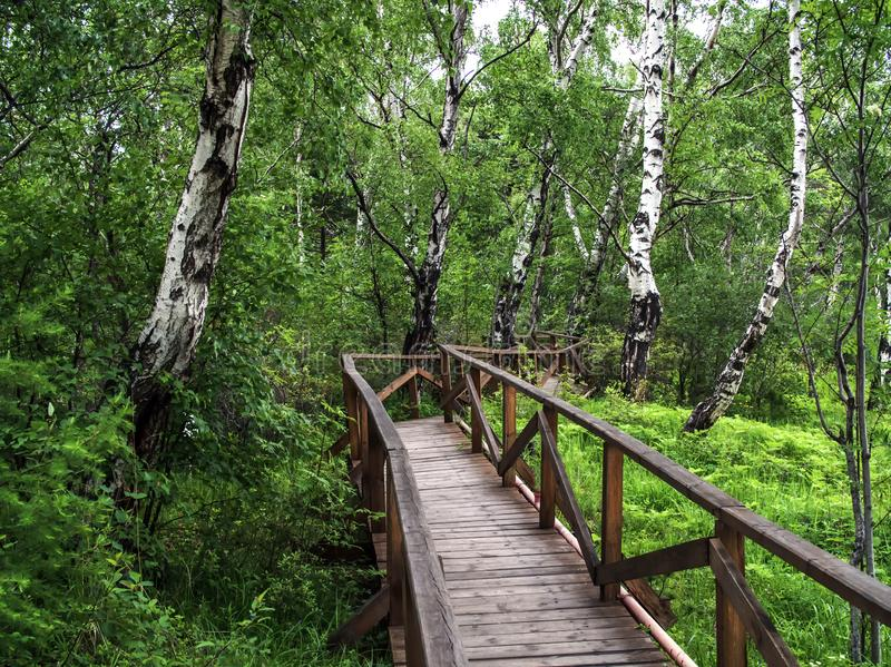 Wooden bridge or road in green forest. Forest background with nobody. Green birch forest.  royalty free stock photo