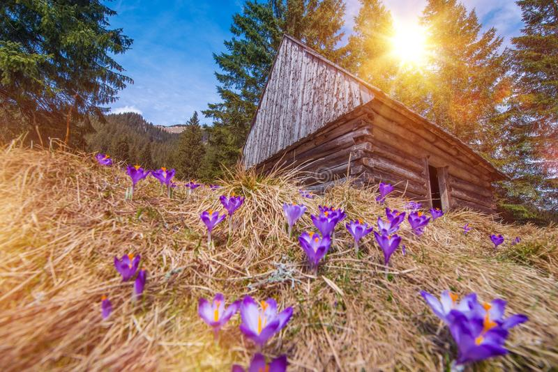 Wooden Cabin and Crocuses. In the Scenic Chocholowska Valley. Spring Blooming Crocus in Polish Tatra Mountains stock images