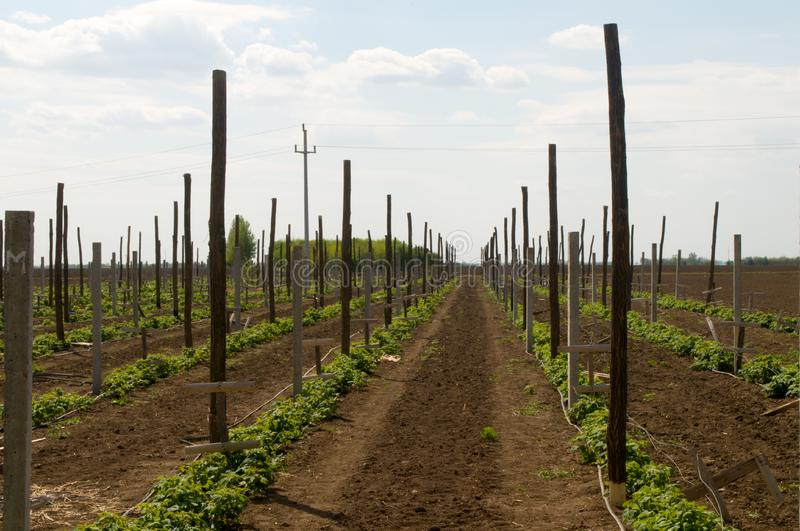 Wooden and concrete poles placed in the field to bolster and protect raspberries royalty free stock photography