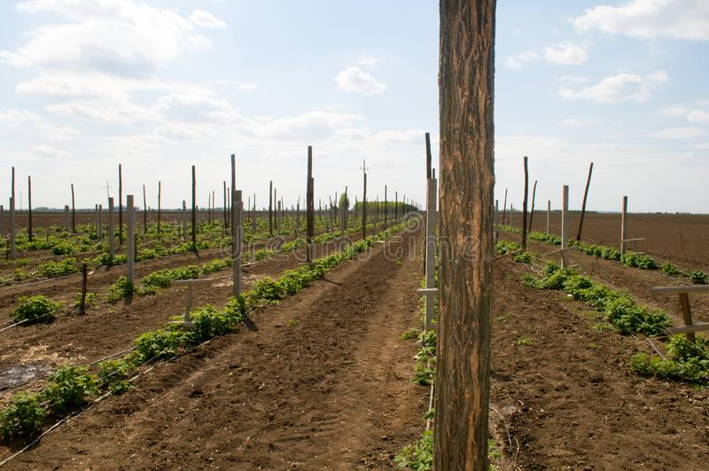 Wooden and concrete poles placed in the field to bolster and protect raspberries. Wooden, concrete poles placed in the field to bolster and protect raspberries stock images