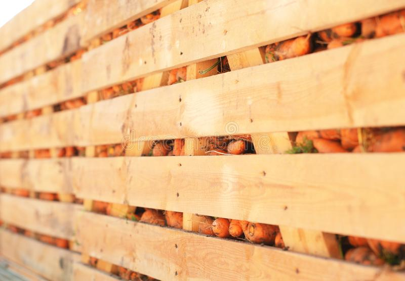 Wooden crates with freshly. Harvested carrot royalty free stock image