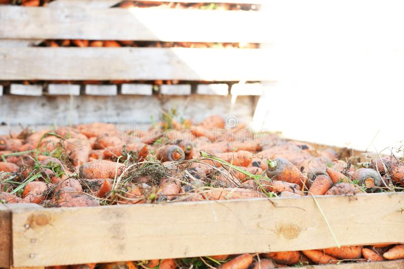 Wooden crates with freshly harvested. Carrots royalty free stock images
