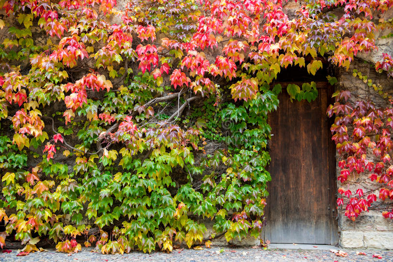 Wooden door and walls are covered with ivy. stock photos