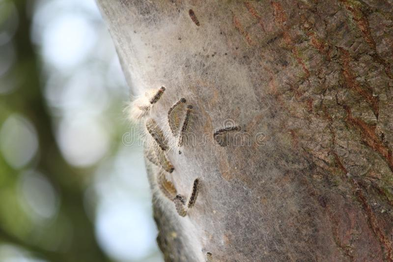 Oak processionary caterpillar in a tree in the Netherlands, causing human skin irritation stock photo