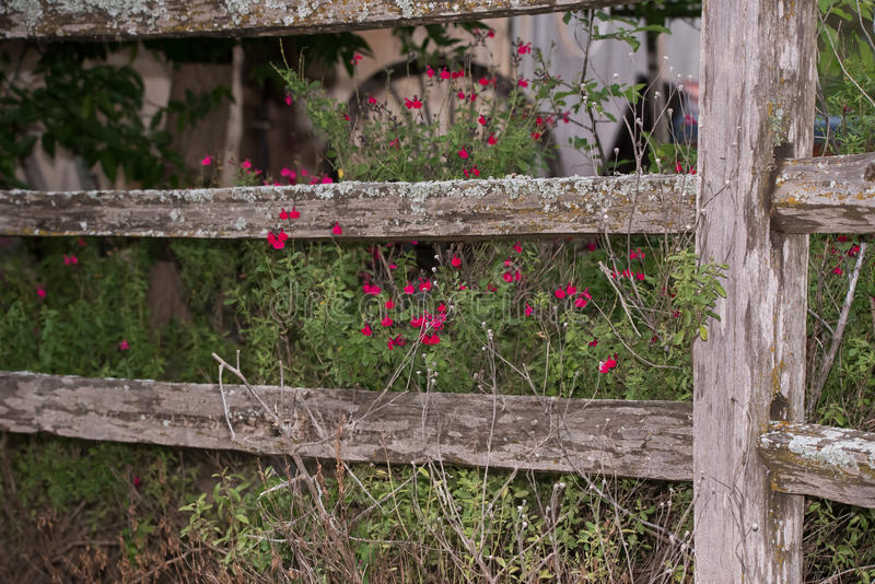 Wooden fence with autumn sage bush royalty free stock image
