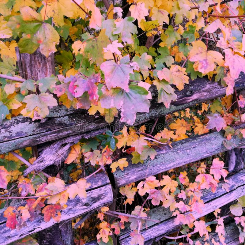 Autumn,wooden fence of round timber on which leans branches with colorful autumn leaves, royalty free stock image
